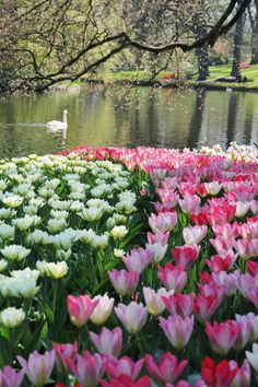 Beauty in Keukenhof Gardens, 2013 season
