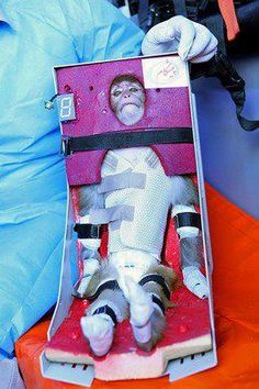 An Iranian scientist holds a live monkey strapped into a chair at an unknown location on January 28, 2013, which Iranian news agencies said returned alive after it traveled in a capsule to an altitude of 120 kilometres (75 miles) for a sub-orbital flight. Iran took a 'big step' towards sending astronauts into space by 2020, successfully launching a monkey above the Earth's atmosphere, Defence Minister Ahmad Vahidi told state television.