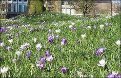 crocus lawn Lawns, Garden Planning, The Great Outdoors, Gardening Tips, Garden Ideas, House Plans, Flowers, Landscaping Ideas, Outdoor Life