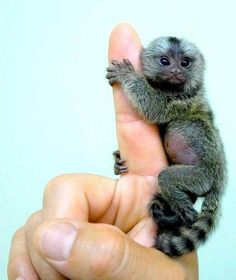 A baby pygmy marmoset! The pygmy marmoset is a tiny primate that is exclusively found in the jungles of South America. The pygmy marmoset is known to be the smallest known species of monkey in the world. Cute Creatures, Beautiful Creatures, Animals Beautiful, He's Beautiful, Cute Baby Animals, Animals And Pets, Funny Animals, Wild Animals, Exotic Animals