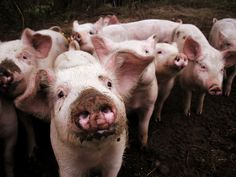pigs should have mud on their snouts!