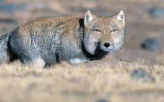 A Tibetan Fox stalking. #Animals #TibetanFox