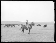 Source: Cowboy and a herd of cattle in Cherry County, Nebraska. Solomon D. Butcher. 1889. Nebraska State Historical Society