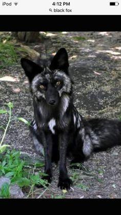 Black fox, my favourite!