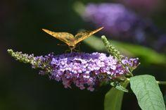 Vlinderplant, #Vlinder #bloem #flower
