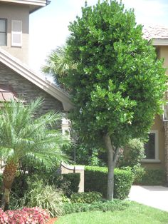 Green Buttonwood Tree. Hardy, resilient, rich green leaf year round. Can provide as a good mid-sized ornamental. Universal Landscape, Inc. www.universaldevgroup.com Florida Trees, Fast Growing Evergreens, Spanish House, Flora And Fauna, Yard Ideas, Green Leaves, Planting, Landscaping, Garden