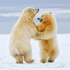 Arctic Dance - Polar Bear Cubs in Arctic National Wildlife Refuge - Most Beautiful Pictures Baby Animals, Funny Animals, Cute Animals, Polar Animals, Wild Animals, Bear Cubs, Polar Bears, Dancing Animals, Cute Bear