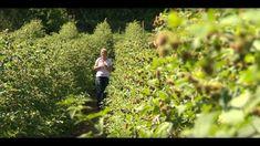 A málna termesztése és metszése - Kertbarátok - Kertészeti TV - műsor