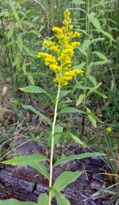 Goldenrod, Solidago spp., is a common edible and medicinal wild plant found across the country in habitats with partial shade and direct sunlight. In North America, there are 90 different varieties...