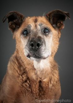 "Shep, a 16-year-old sweet German shepherd-cross living at SAINTS.  - ""The old and the beautiful: Vancouver's senior dogs"" (Pete Thorne)"