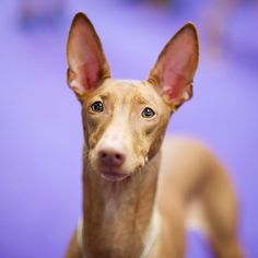 Maggie, Pharaoh Hound, 138th Westminster Kennel Club Dog Show