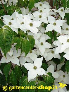 Chinesischer Blumenhartriegel, Cornus kousa chinensis