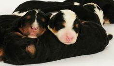 Bernedoodle newborn pups from Swissridge kennels