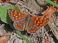 https://flic.kr/p/dDJn5U | Lycaenidae - Riodininae - Hamearis lucina-1