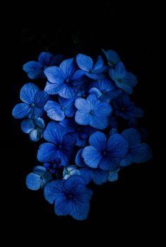 Hydrangea by Pela Schmidt Hortensia Hydrangea, Hydrangea Colors, Hydrangeas, Amazing Flowers, Beautiful Flowers, Exotic Flowers, Purple Flowers, Beautiful Images, Blue Aesthetic Dark