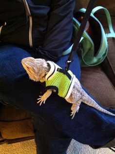 I might not bring my dog to the bus stop, but if might bring Matthew's bearded dragon ;) BEARDED DRAGONS