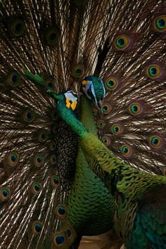 emerald peacock colors