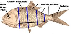 Fishing with Cut Bait for Stripers, Catfish, Bluefish | FishingMOZ