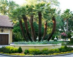 27 Best Palms Images Palm Trees Landscaping Palm Trees