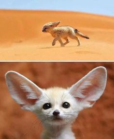 🦊The fennec, or desert fox, is a canine mammal species of the genus Vulpes, which inhabits the Sahara Desert and Arabia. This is the smallest species of the family Canidae. Photography by ©Francisco Minogorance . Rare Animals, Animals And Pets, Funny Animals, Cut Animals, Exotic Animals, Strange Animals, Animals Photos, Wild Animals, Tier Fotos