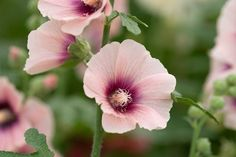 <i>Alcea rosea</i> 'Halo Apricot', photograph by Torie Chugg