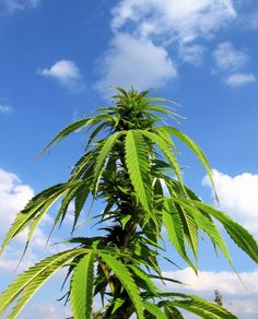 Hanf gehört zu den ältesten Nutzpflanzen der Menschheit. Lange Zeit galt sein Anbau als generell verboten. Dabei gibt es erhebliche Unterschiede hinsichtli
