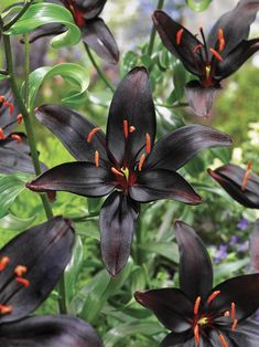 Queen of the Night Asiatic Lily - Veseys