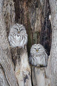 苫小牧・高丘の森でフクロウ2羽 古木の穴にすっぽり収まる
