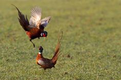 Coq Pheasant fighting