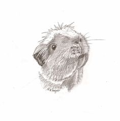 Guinea Pig Amelie cute pencil drawing/pet by CardCreative on Etsy