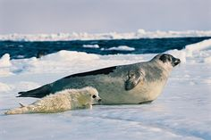 Photo by @BrianSkerry.  A newborn harp seal basks in the sun with its mother in the Gulf of St. Lawrence, Canada. These pups only keep their white coats for about 2 weeks before shedding and adopting the typical grey cover of adult harp seals. Underwater, vision is the dominant sense of these creatures, yet, when on the frozen tundra of the North, mother harp seals use smell to identify their pups.