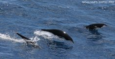 """Northern right whale dolphins (Lissodelphis borealis). They are the only species of dolphin without a """"dorsal"""" fin found in the North Pacific Ocean. These dolphins are recognized by a mostly shiny black coloration on the dorsal side and a contrasting less-visible white ventral side."""