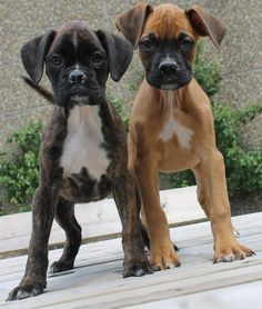 Absolutely double trouble. #boxerpuppy