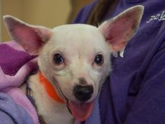 Adopt Derby, a lovely 2 years Dog available for adoption at Petango.com.  Derby…