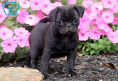 This sweet and very social Pug puppy is so excited to meet her new family! She has an amazing personality and will win you over with your first Pug Puppies For Sale, Baby Pugs, Say Hello, Arthritis, Cute Dogs, French Bulldog, Your Dog, Dog Lovers, Pumpkin