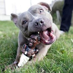 I honor of my pitbull baby Dave! Happy pitbull chewing on a Michael Vick doll. This picture will always make me smile. Love My Dog, Puppy Love, Especie Animal, Amor Animal, Cane Corso, Sphynx, Mans Best Friend, Best Friends, American Staffordshire Terriers