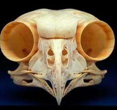 Front view of the skull of a The Boreal Owl (Aegolius funereus) is a small owl. It is also known as the Tengmalm's Owl after Swedish naturalist Peter Gustaf Tengmalm. Other names for the owl include Richardson's Owl, Funeral Owl (latin: funereus), Sparrow Owl, and Pearl Owl (Finnish: helmipöllö). This species is a part of the larger grouping of owls known as typical owls, Strigidae, which contains most species of owl. The other grouping is the barn owls, Tytonidae.