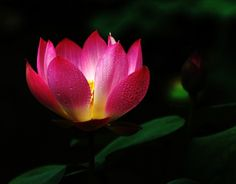 Lovely Mini Lotus