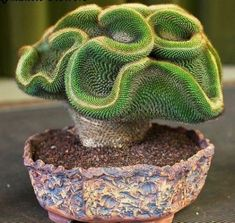 10x Rare Succulents Coral Cactus