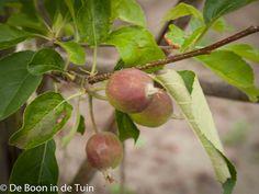 golden delicious appel moestuin volkstuin Dit en nog veel meer op moestuinblog de Boon in de Tuin. Check http://deboon.blogspot.nl