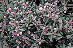 Find Blue Ice Bog Rosemary (Andromeda polifolia 'Blue Ice') in Richmond Fairfax Loudoun Prince William Fredericks Virginia VA at Meadows Farms Nurseries Small Shrubs, Small Trees, Garden Plants, Indoor Plants, Flower Gardening, Low Maintenance Shrubs, Meadows Farms, Evergreen Shrubs, Flowering Shrubs