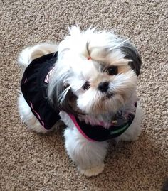 10 Symptoms That You Should Never, Ever Ignore In Your Shih Tzu