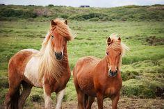 Icelandic horses | Flickr - Photo Sharing!