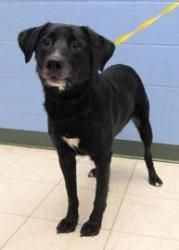Cooper is an adoptable Labrador Retriever Dog in Caldwell, ID. Cooper is a handsome black and white border collie/lab mix. Cooper looks at you with such expression in his eyes, he seems wise beyond hi...