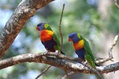 Afbeeldingsresultaat voor regenboogparkiet