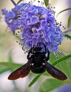 A Carpenter Bee with lavender color flower. Beautiful bee photos by a keen photographer. Makes delightful summer time browsing.