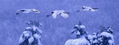 Red-crowned cranes in Akan National Park, Hokkaido, Japan  -W O W ! © Vincent Munier/Minden Pictures