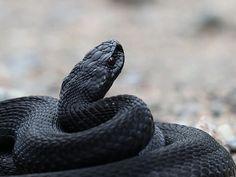 Täysin musta kyy, jonka silmätkin olivat kuin tummat peilit. Black (melanistic) snake Danger Noodle, Reptiles, Snake, Exotic, A Snake, Snakes