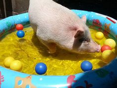 Looking for Enrichment Activities For A Bored Pig? Read our article on American Mini Pig Association Pocket Pig, Kune Kune Pigs, Miniature Pigs, Pot Belly Pigs, Pig Pen, Teacup Pigs, Enrichment Activities, Mini Pigs, Pet Pigs