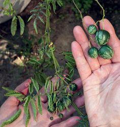 Tzimbalo eli minipepino kasvaa ensimmäistä vuottaan. Andien alueelta kotoisin oleva tomaatin ja munakoison sukulainen näyttää kypsyvän hyvin hitaasti.